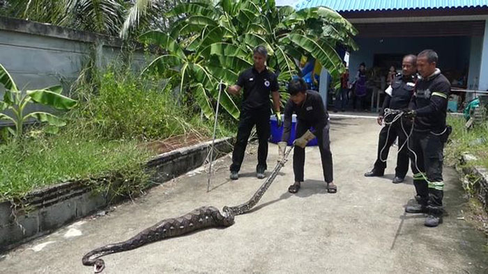Python Swallows Cat and Then Throws It Back Dead